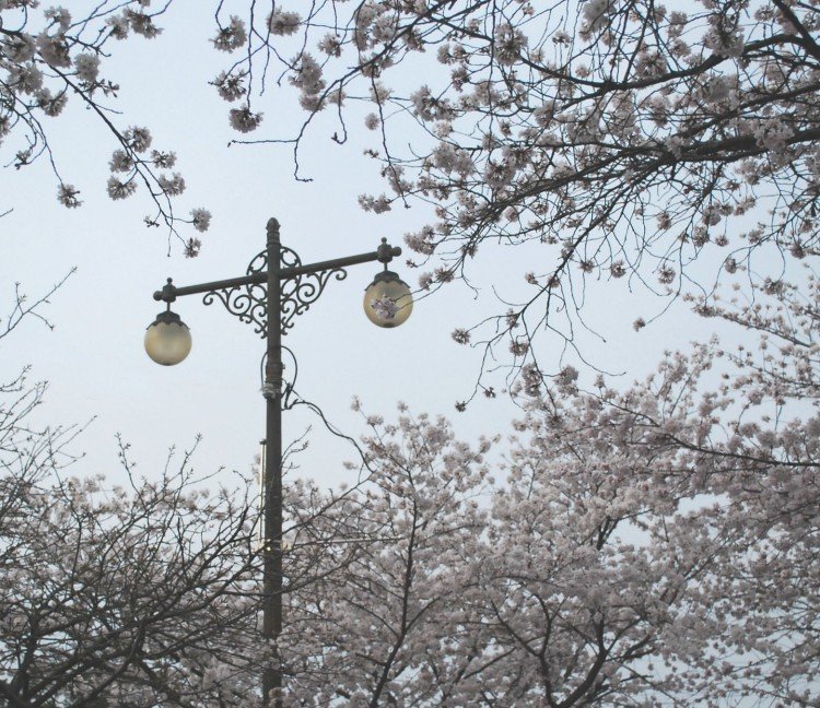 namwon-cherry-blossoms
