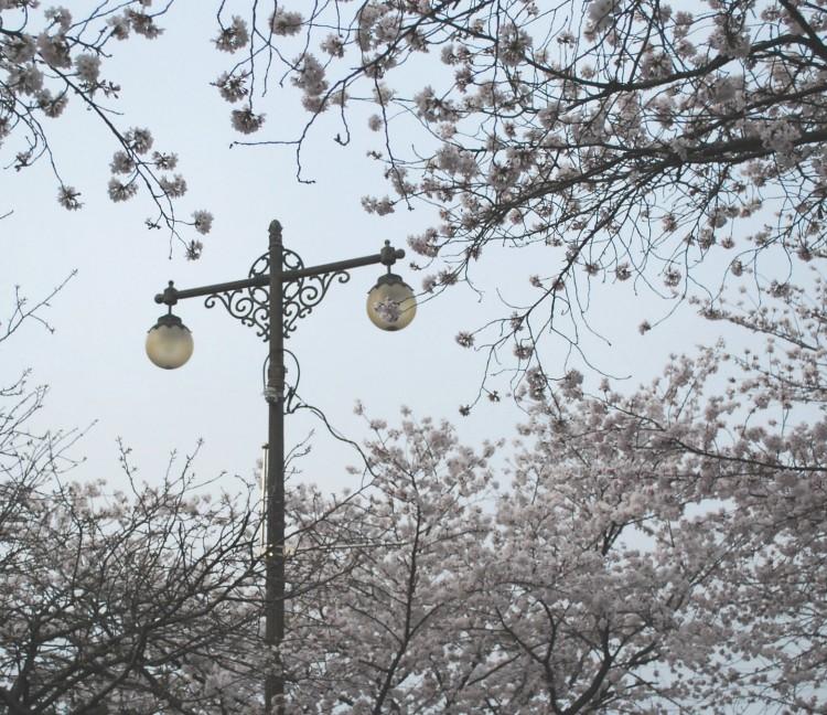 namwon-cherry-blossoms